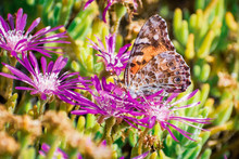 Close Up Of Painted Lady (Vanessa Cardui) Butterfly Pollinating A Trailing Iceplant (Delosperma Cooperi) Flower, California