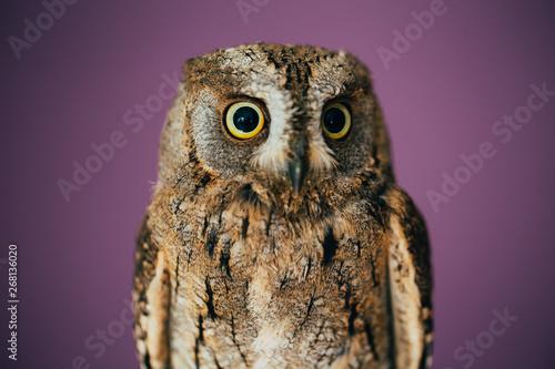 Foto op Aluminium Uil Eurasian scops owl