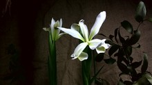 Blooming White Iris, Timelapse Footage.