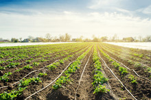 Young Potatoes Growing In The Field Are Connected To Drip Irrigation. Agriculture Landscape. Rural Plantations. Farmland Farming. Selective Focus