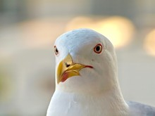 Portrait Of An Adult Seagull H...