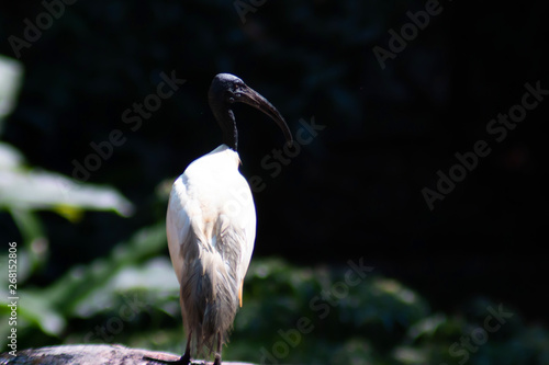 one Big Lesser adjutant stork on nature Wallpaper Mural
