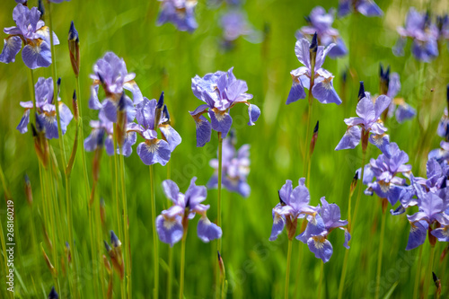 Tuinposter Iris Iris sibirica.plants from botanical garden for catalog. Natural lighting effects. Shallow depth of field. Selective focus, handmade of nature. Flower landscape