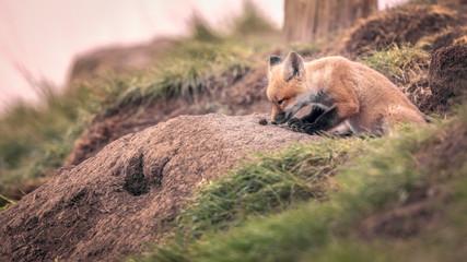 Curious Red Fox Kit Explori...