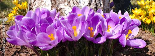 Recess Fitting Crocuses Violette Krokusse im Frühling aus der nähe Aufgenommen.