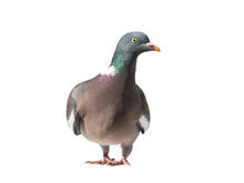 Close Up Front View Of Common European Wood Pigeon With Head Turned To The Right And Isolated On White Background