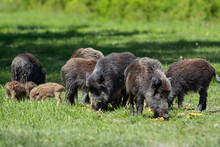 Wild Boar Family - Sow And Pig...