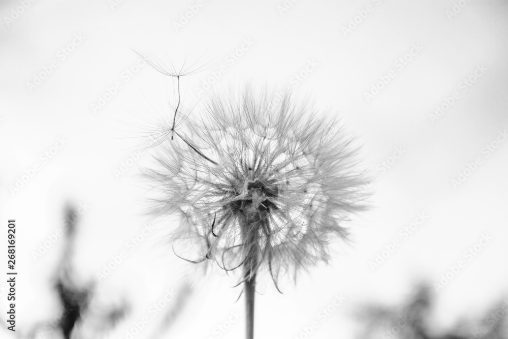 Fototapety, obrazy: One White dandelion scatters, close-up on a dark background. Macro. Black and white, monochrome