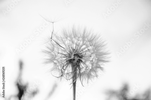 One White dandelion scatters, close-up on a dark background. Macro. Black and white, monochrome