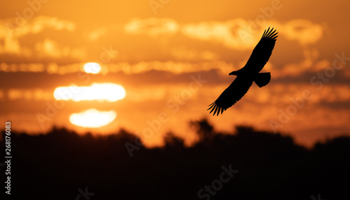 Fotobehang Eagle Bald Eagle at Sunrise