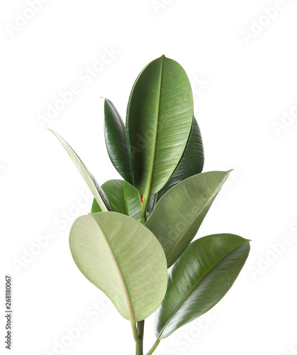 Beautiful rubber plant on white background. Home decor