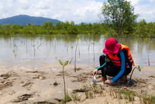 Asia Woman Planting Young Tree In Deep Mud In Mangrove Reforestation.