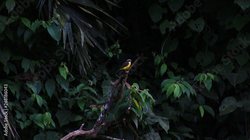 Foto op Aluminium Draken A yellow, black, white great kiskadee - Pitangus sulphuratus, lush background in tropical rainforest