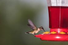 Hummingbird Drinking From A Feeder