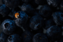 A Bright Red Ladybug On Dark Blue Blueberries