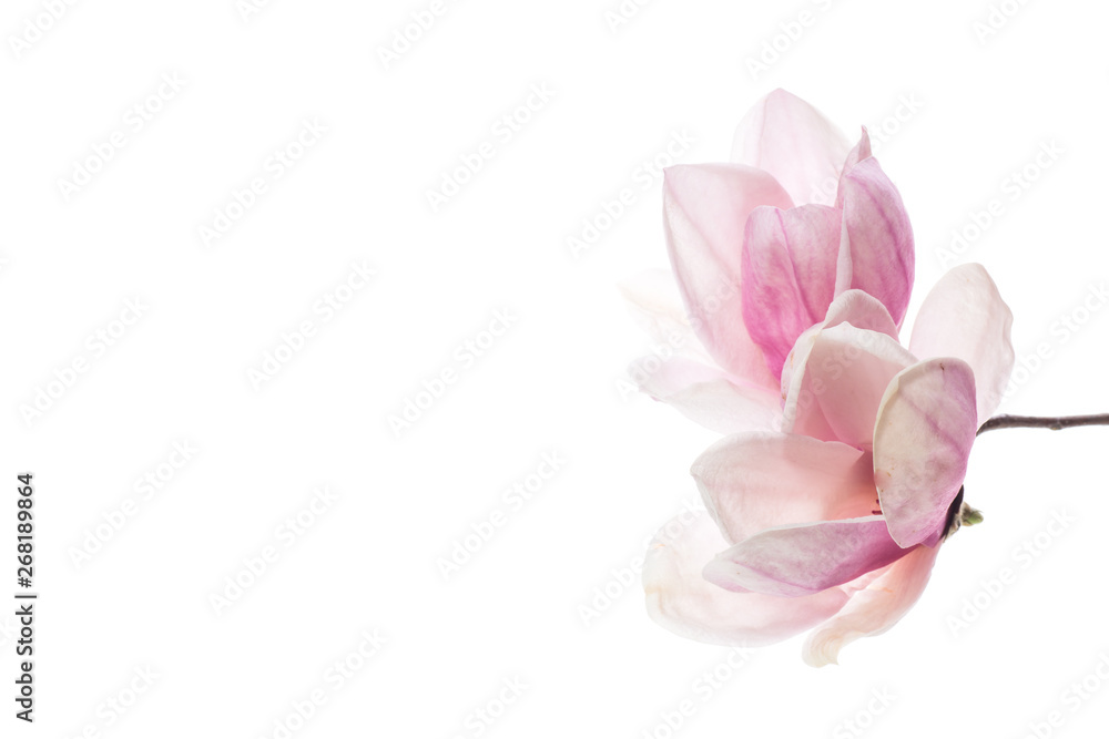 Fototapeta spring beautiful blooming magnolia on a white