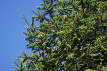 Monarch Butterflies Among Pine Tree Branches
