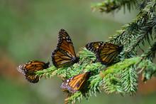 Monarch Butterflies Among Pine...