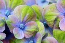 Beautiful Blue-green Hydrangea...
