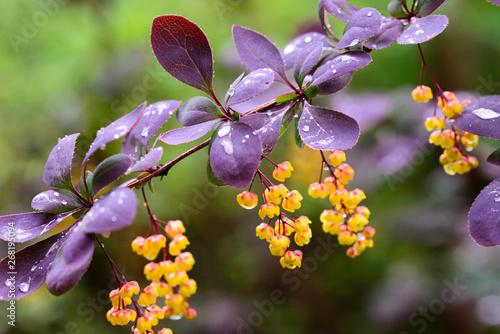 berberis, barberry yellow flowers on twig macro Canvas Print