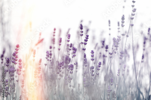 Photo  Beautiful lavender flower, Selective and soft focus on lavender