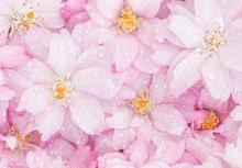 Pink Cherry Blossoms And Raind...