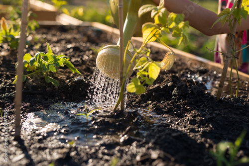 Fotografie, Obraz Girl cares for garden plot and waters family vegetable garden