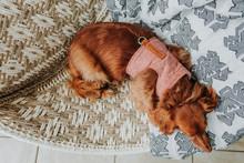 Sleeping Dog In Chair