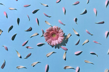 Floral Pattern Made Of Petals Flowers And Bud Of Gerbera On Blue