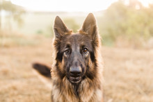 Visually Impaired German Sheph...