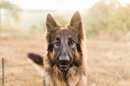 Fototapeta Visually impaired German shepherd dog