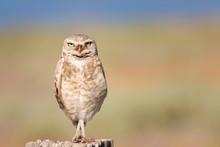 Burrowing Owl Crossed Legs