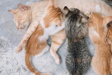 Kittens Sucking Milk From Mother