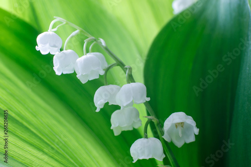 Poster Muguet de mai Gentle beautiful lily of the valley flower on a background of green leaves on a sunny spring day. Soft focus