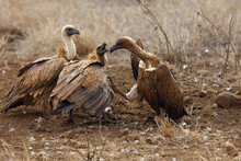 The White-backed Vulture (Gyps...