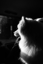 Samoyed Dog In Car