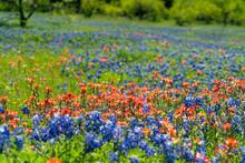 Bluebonnet Fields