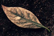 Wilted Avocado Leaf On Soil Ma...
