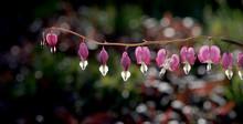 Suspended Bleeding Heart Flowers