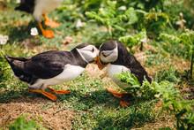Pair Of Puffins Knocking Beaks