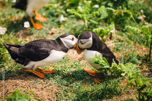 A pair of puffins knocking beaks