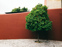 Green Orange Tree In Front Of Red Wall