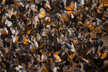 Monarch Butterflies Drinking W...