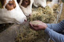 Farmer Giving Granules To Cows