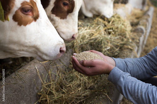 Foto Farmer giving granules to cows