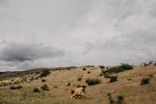 Cow Standing In Field