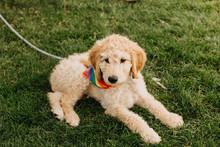 Adorable Puppy Wearing Rainbow Bandana