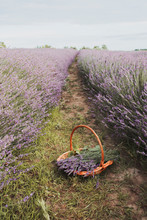 Basket Full Of Lavender