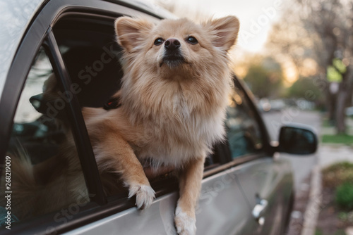 Dog in the car window on a road trip