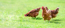Hens On A Traditional Free Ran...